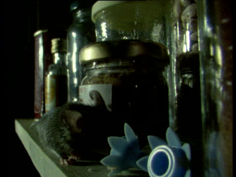 vídeos de stock, filmes e b-roll de house mouse sniffing and scuttling among jars on shelf - domestic animals