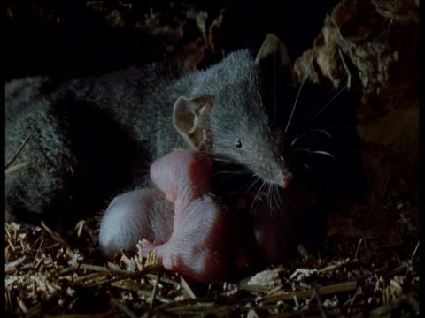 house shrew with babies in nest, uk - babyhood stock videos & royalty-free footage