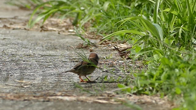 house sparrow (passer domesticus) on ground - sparrow stock videos & royalty-free footage