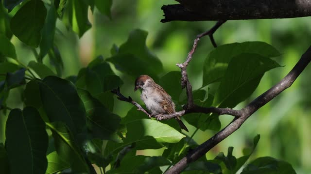 house sparrow perching on twig and preening its feathers - 毛づくろい点の映像素材/bロール