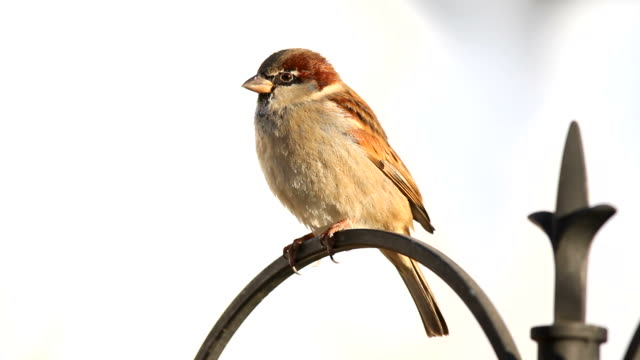 house sparrow - sparrow stock videos & royalty-free footage