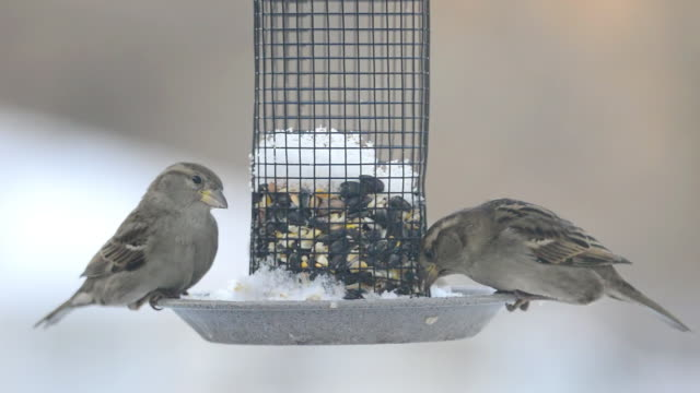 cu of house sparrows (passer domesticus) eat seeds in early morning on feeder which collected snow overnight / valparaiso, indiana, united states - sparrow stock videos & royalty-free footage