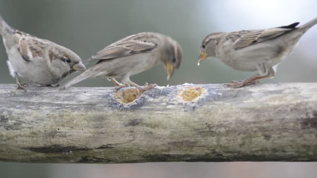 House sparrows eating and fighting