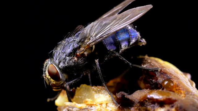 housefly 01 - housefly stock videos & royalty-free footage