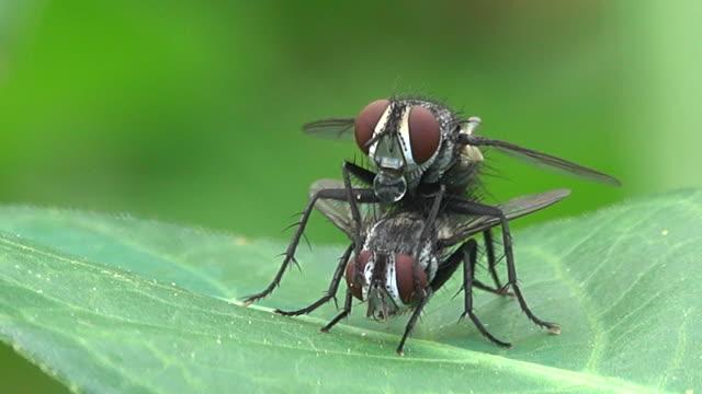 stockvideo's en b-roll-footage met huisvlieg zijn paring op een blad - huisvlieg