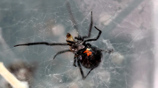 housefly drops from black widow web - black widow spider stock videos & royalty-free footage