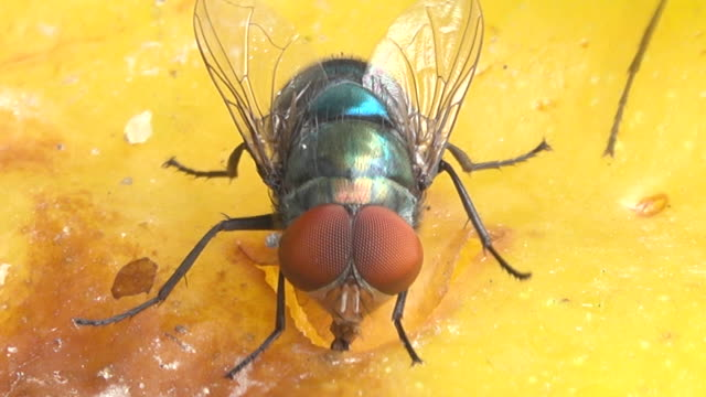 vídeos de stock e filmes b-roll de housefly eating a fruit - inseto