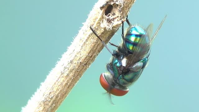 stockvideo's en b-roll-footage met huisvlieg op een tak - huisvlieg