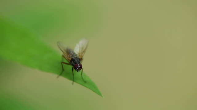vídeos de stock, filmes e b-roll de housefly on a green leaf, macro shot - housefly