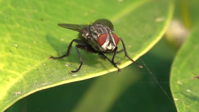 housefly on a leaf - housefly stock videos & royalty-free footage