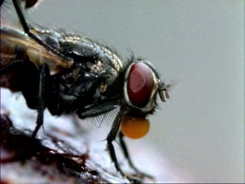 vídeos de stock, filmes e b-roll de cu housefly regurgitating food, england - housefly