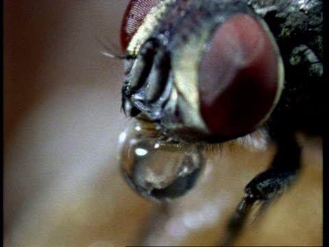 vídeos de stock, filmes e b-roll de bcu housefly regurgitating, pull focus to eyes - mosca comum