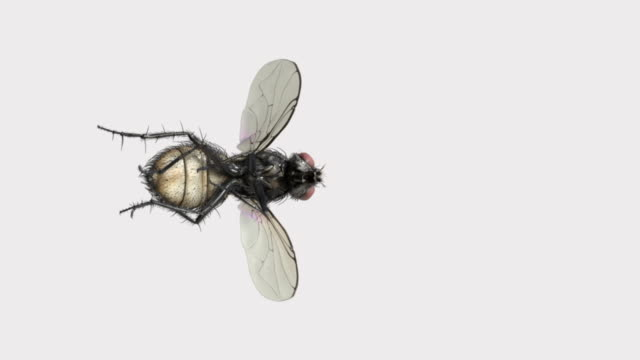 housefly slow motion flying on white background - housefly stock videos & royalty-free footage