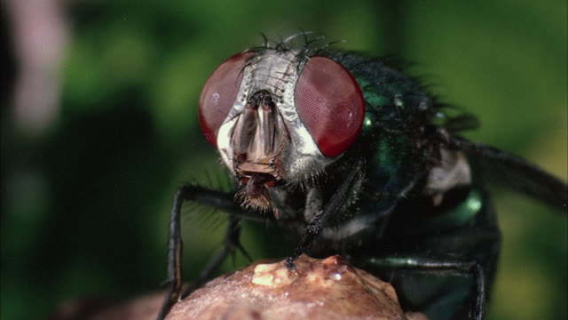 cu, housefly - insect stock videos & royalty-free footage
