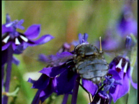 Hover fly with huge proboscis feeds from irises on South African veldt