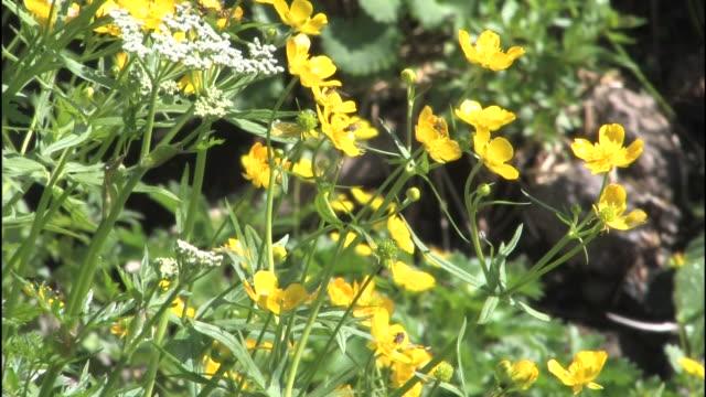 Hoverflies feed on buttercups on Mt. Norikura.