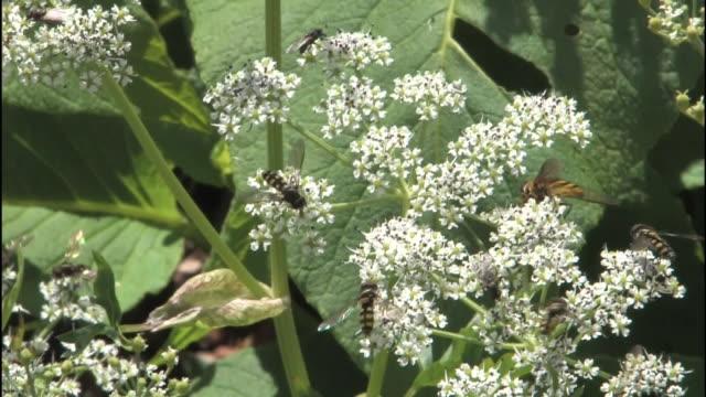 hoverflies feed on false snow parsley flowers on mt. norikura. - parsley stock videos and b-roll footage