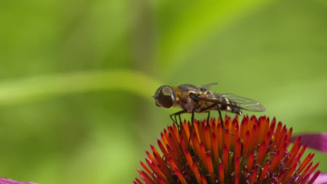 Hoverfly cleaning mouthparts on cone flower, high speed