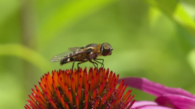 Hoverfly cleans its mouthparts on top of pink Coneflower