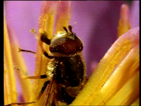BCU hoverfly collecting pollen from stamen of water lily