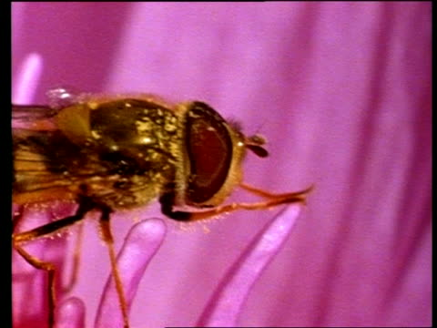 bcu hoverfly crawling across stamen of african water lily - stamen stock videos and b-roll footage