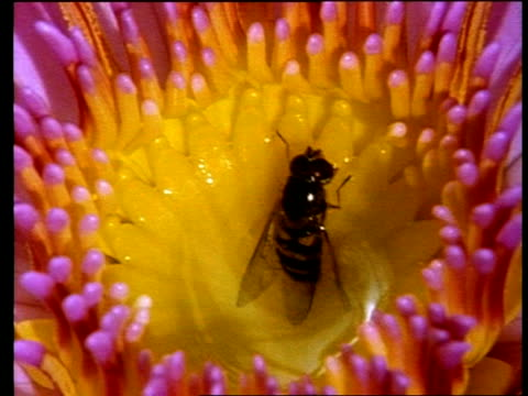 cu hoverfly crawling out of poisonous liquid in centre of african water - おしべ点の映像素材/bロール