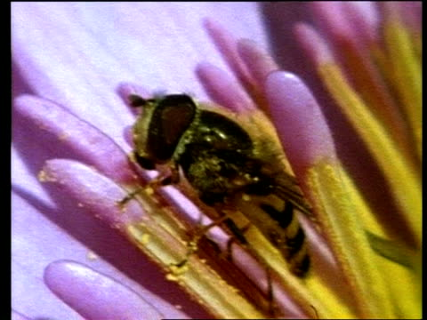 bcu hoverfly crawling over stamen, tilt down to dead hoverfly within flower - stamen stock videos and b-roll footage