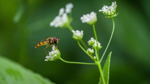 Hoverfly Episyrphus Balteatus Insekt auf weißen Wildblumen