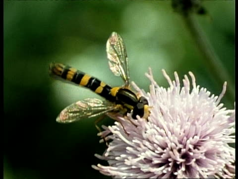 cu hoverfly feeding on flower, uk - pollination stock videos & royalty-free footage