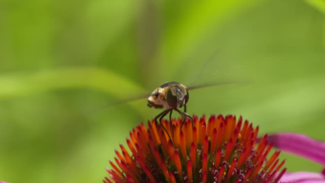 Hoverfly flaps its wings and turns on Coneflower, closeup HS