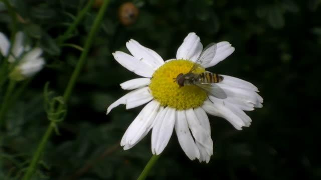 Hoverfly Horse fly on daisy