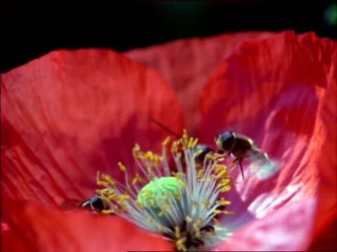 hoverfly (syrphus) hoverflies feeding on red poppy, ms, high speed, uk - staubblatt stock-videos und b-roll-filmmaterial