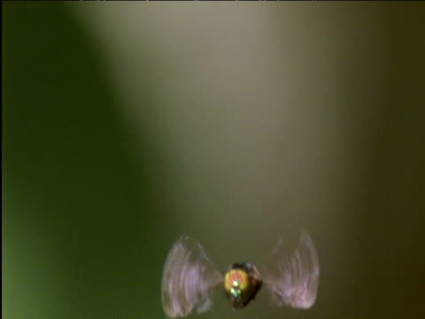 Hoverfly hovers