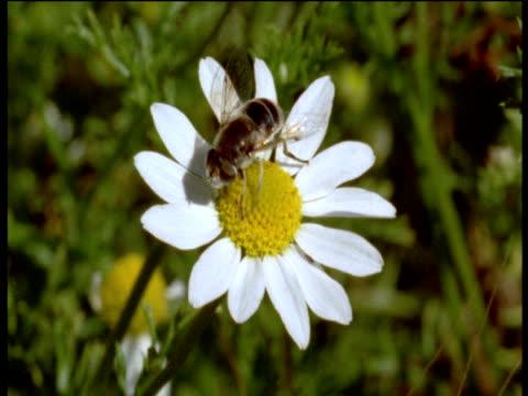 hoverfly on ox-eye daisy, walks round flower then flies off, devon - 動物の色点の映像素材/bロール
