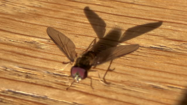 hoverfly on wooden table - invertebrate stock videos & royalty-free footage