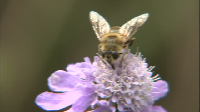 A hoverfly perches on a Scabiosa japonica flower.