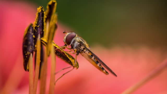 Hoverfly sitting on stamen from a flower