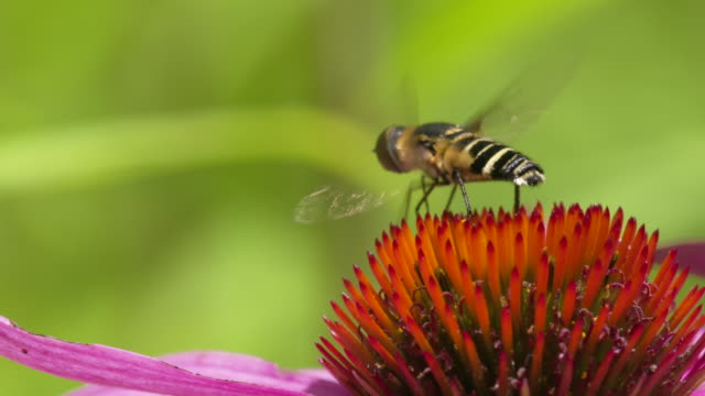 Hoverfly takeoff from pink Coneflower, exits frame, high speed