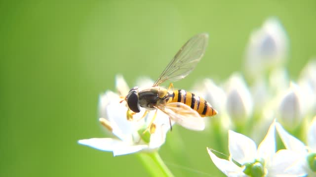 hoverfly with chinese chive flower under sunshine - chive stock videos & royalty-free footage