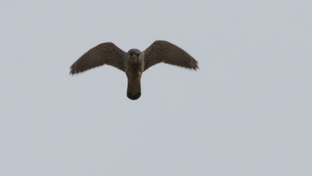 Hovering Kestrel in the clear sky