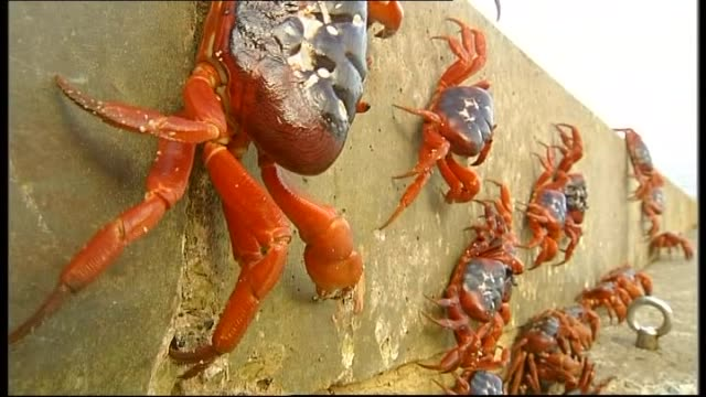 WS RED CRABS ON BEACH VS / WS RANGERS SWEEP RED CRABS OFF ROAD / RED CRABS ON ROADSIDE / CU CAR DRIVES PAST RED CRAB / RED CRABS ON BEACH / RTC on...
