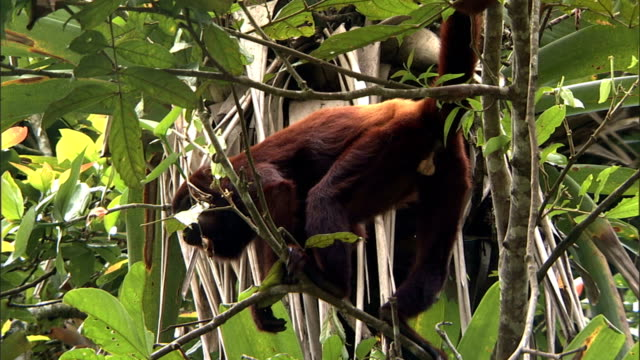 a howler monkey balances on tree branches. - branch stock videos & royalty-free footage