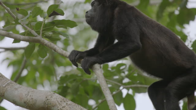 ms howler monkey climbing on tree branch / panamá province, panama  - full length点の映像素材/bロール