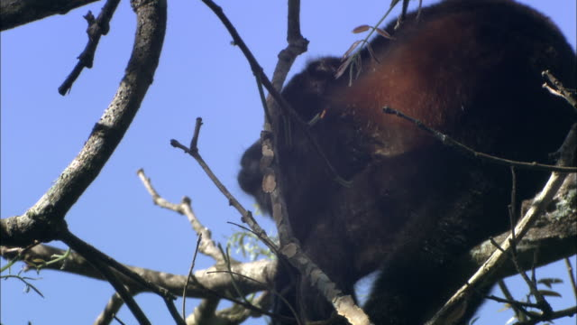 a howler monkey eats leaves off a twig. - twig stock videos & royalty-free footage