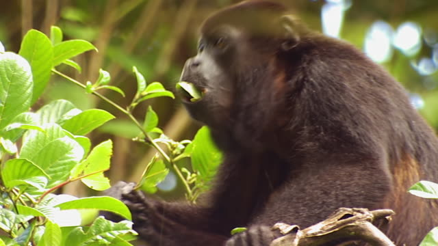 ms ts howler monkey grabs leaves from trees and eating them /  panama city, panama - braun stock-videos und b-roll-filmmaterial