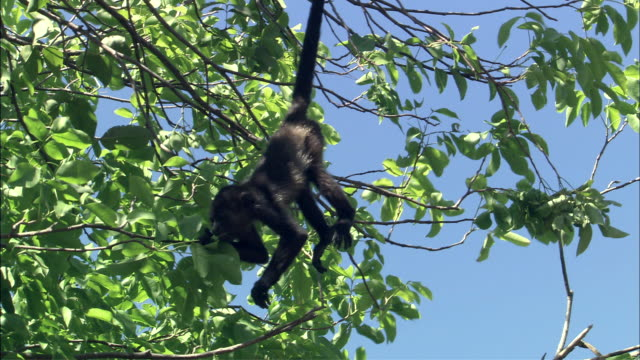 stockvideo's en b-roll-footage met ms howler monkey hanging by tail and eating leaves / guanacaste, costa rica - staartjes