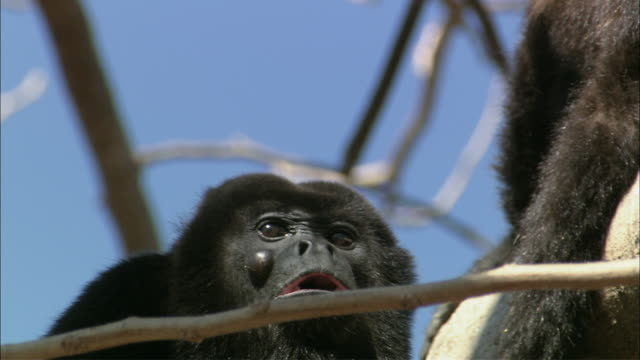 cu howler monkey howling / guanacaste, costa rica - noise stock videos & royalty-free footage