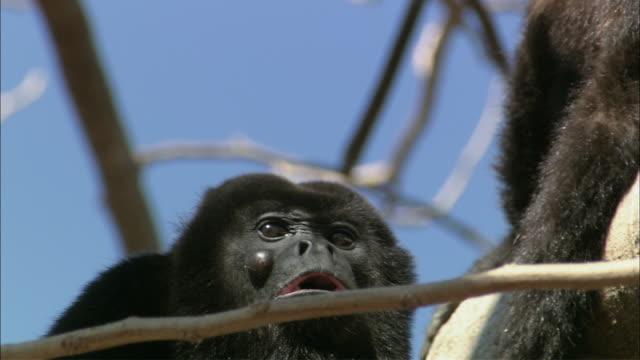 cu howler monkey howling / guanacaste, costa rica - costa rica stock-videos und b-roll-filmmaterial
