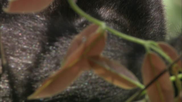 stockvideo's en b-roll-footage met a howler monkey munches leaves. - foerageren
