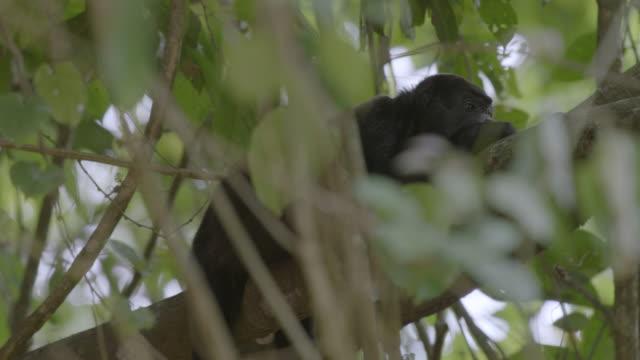 MS Howler Monkey resting on tree branch / Barro Colorado Island, Panama